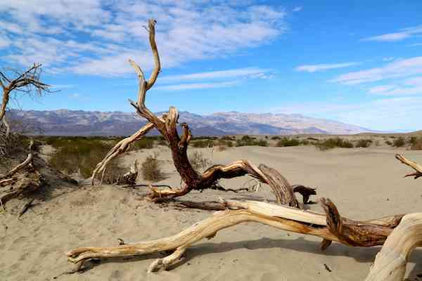 Death Valley Dead Trees - Mesquite Sand Dunes