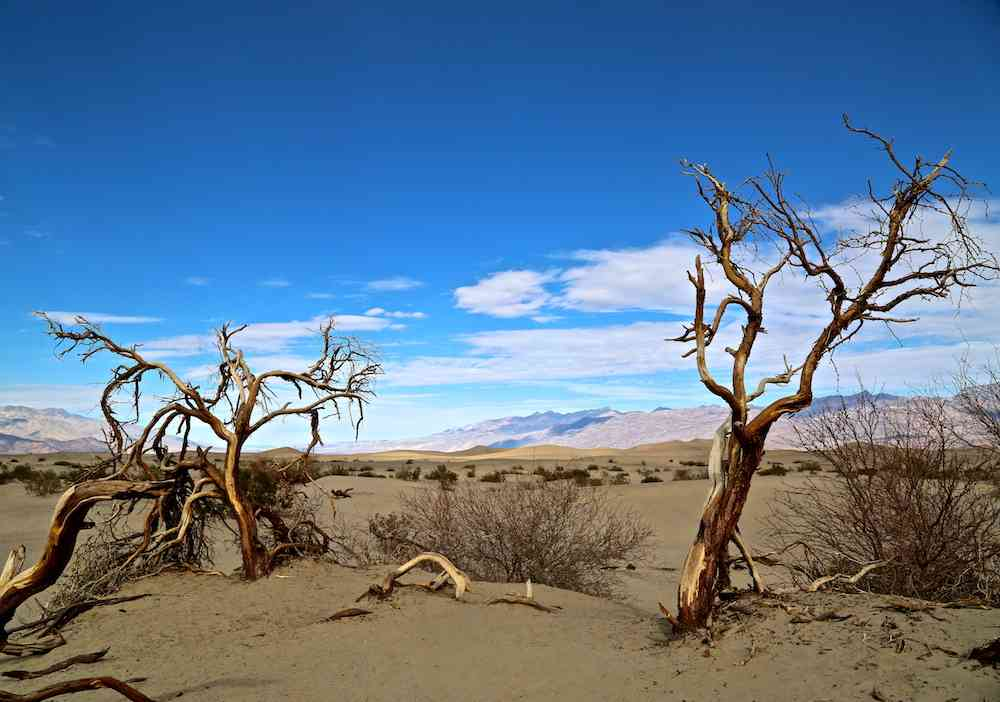 Death Valley Trees