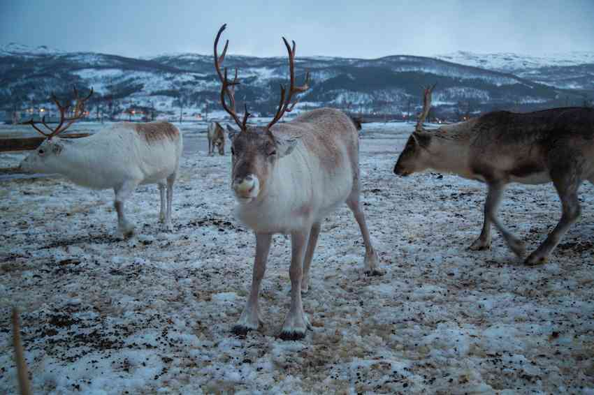 Things to do in Tromso - Sami Reindeer Farm-2