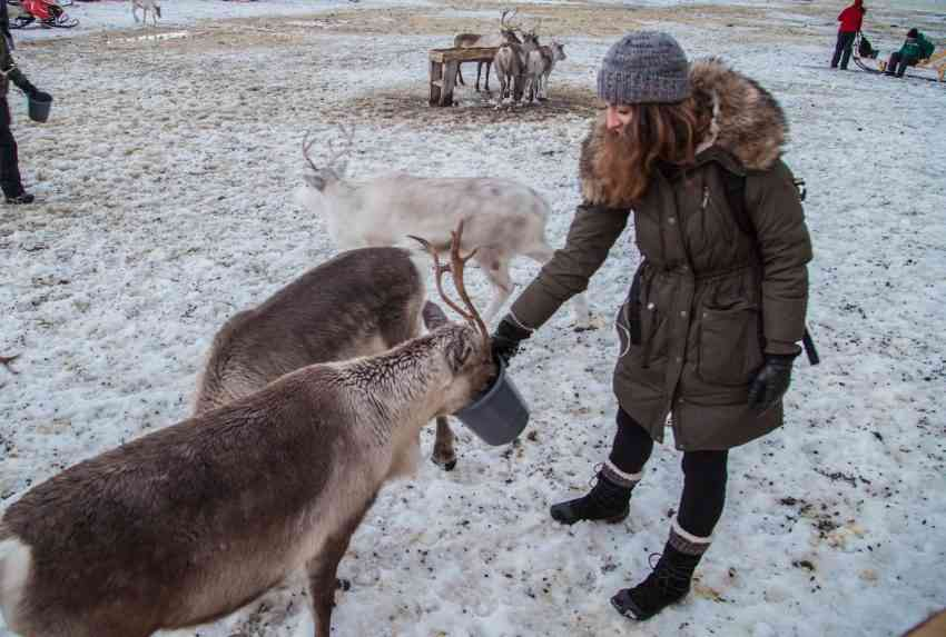 Feeding Reindeer in Norway