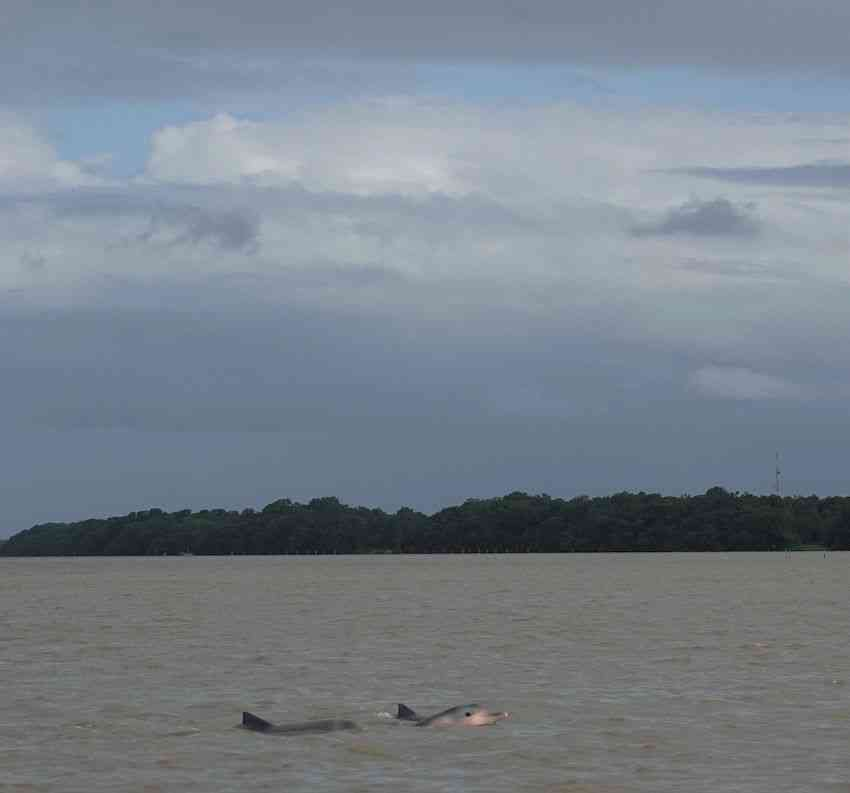 Pink dolphins Suriname