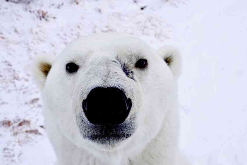 A polar bear in Churchill, Canada.