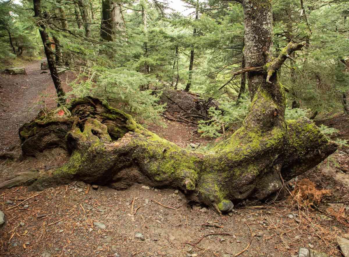 Fallen tree Parnitha