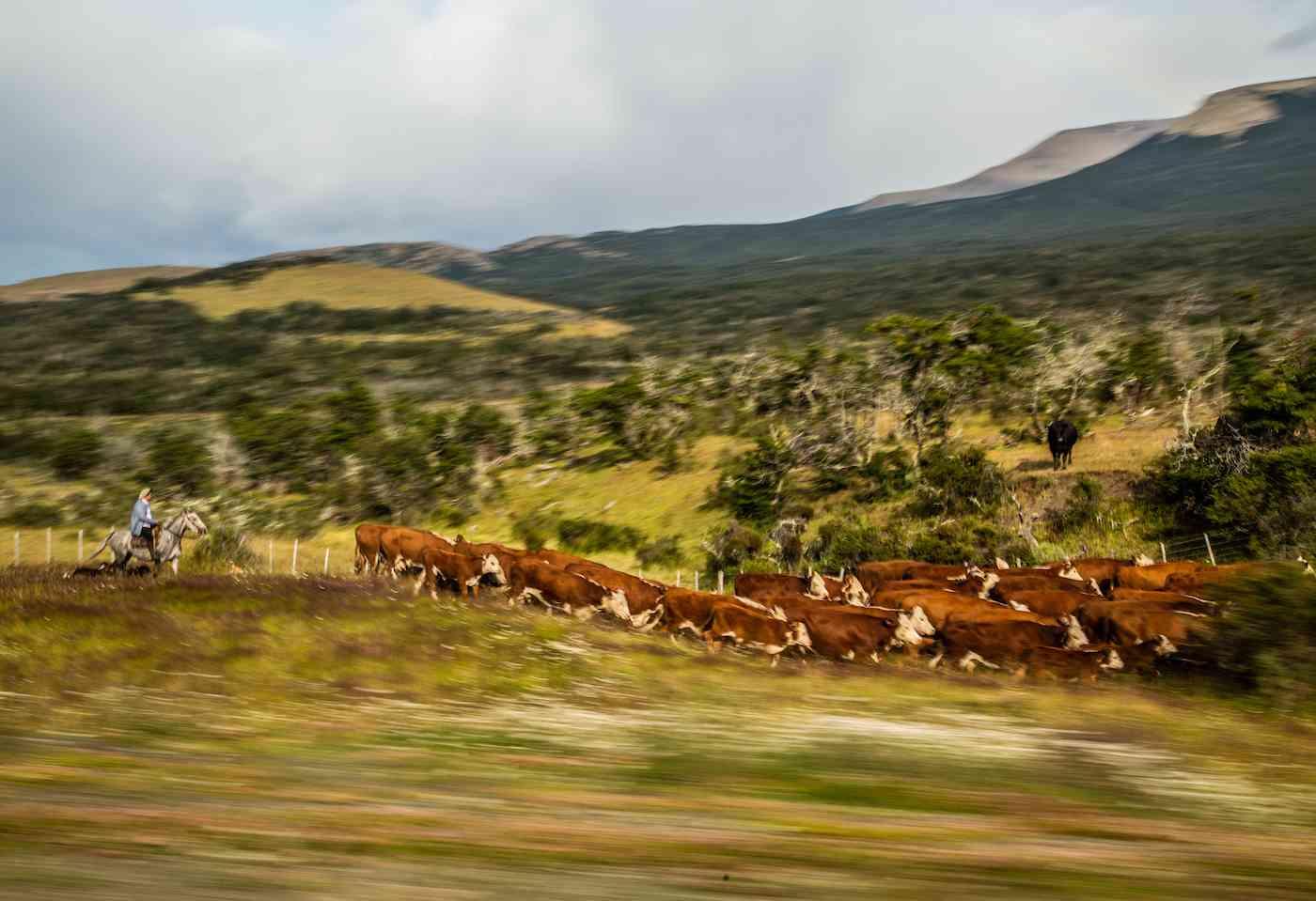 Cow herd and gaucho