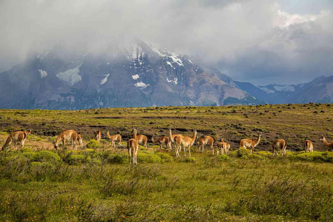 Guanacos Patagonia